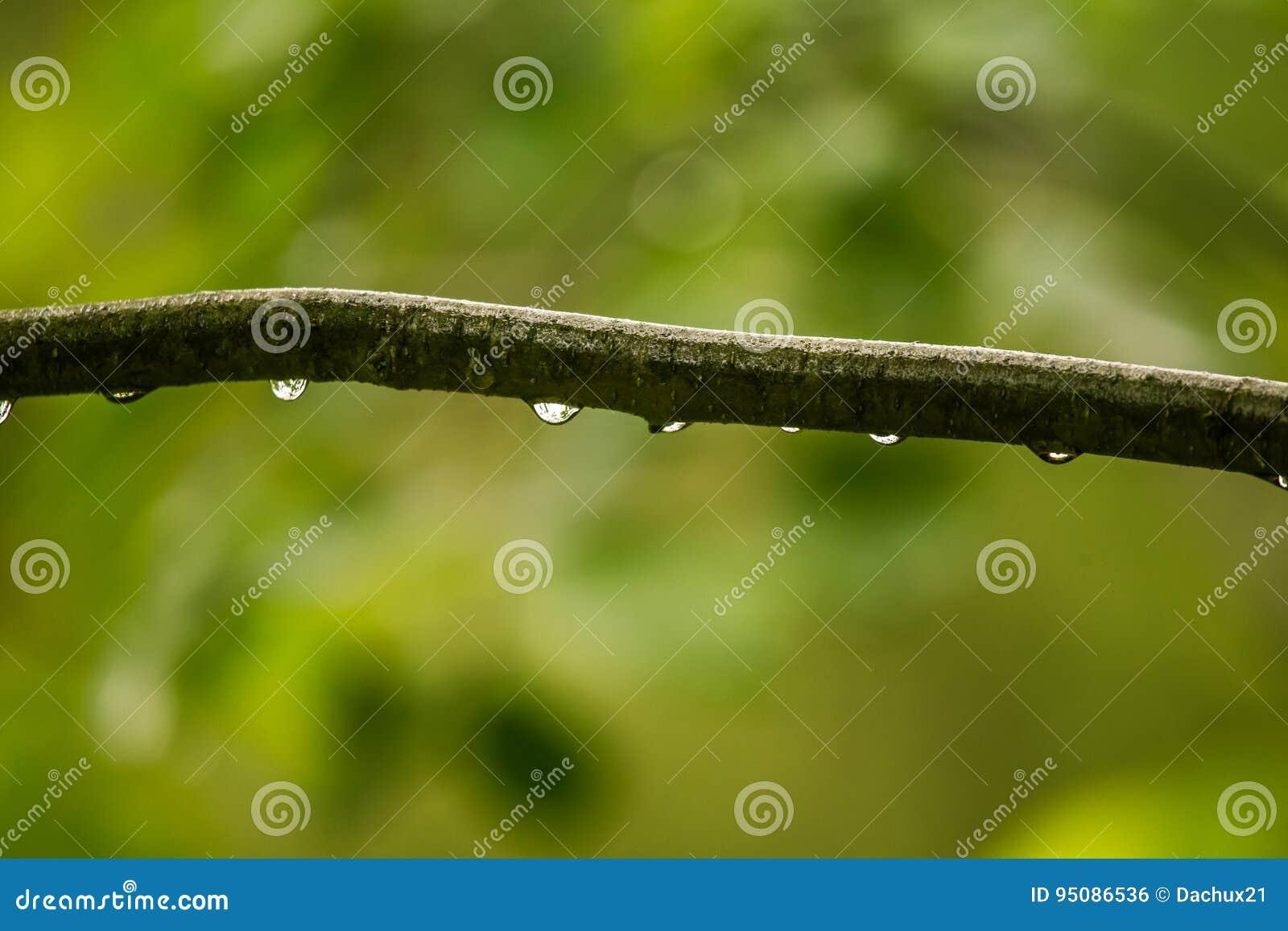 Ett härligt stillsamt regn tappar på en filial av ett alträd in