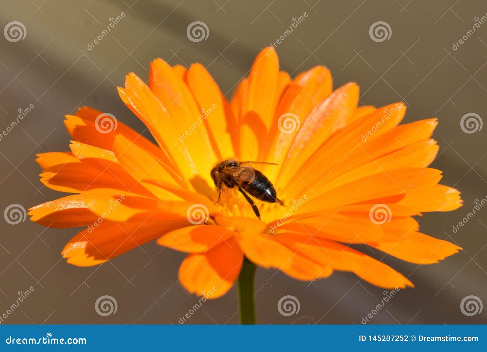 Ett litet bi på en orange blomma