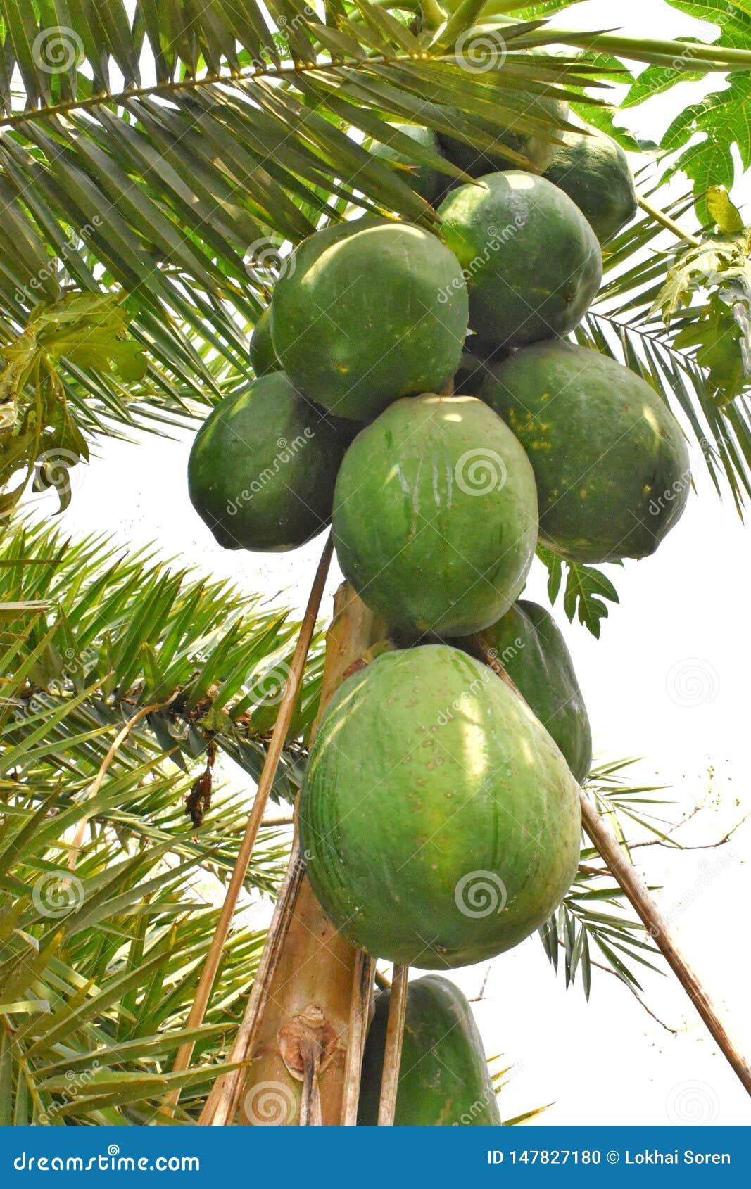 Ett litet träd på den stora feta papayaen