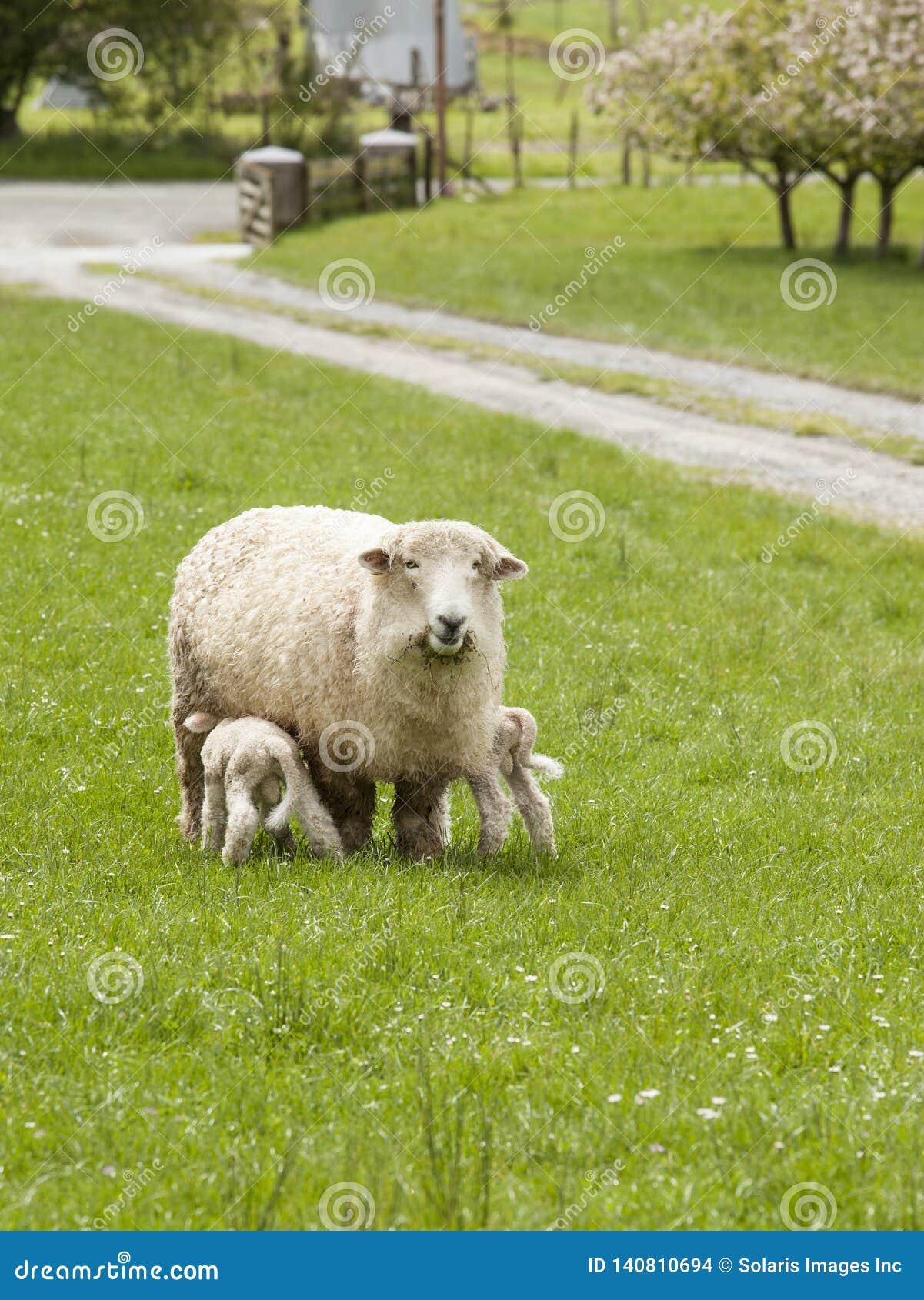 Ett modertackafår med behandla som ett barn lamm som vårdar i vårbygd, övreMoutere, den södra ön, Nya Zeeland