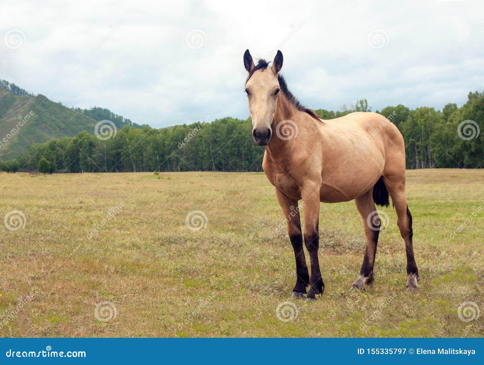 Ett mycket härligt välsköttt ljust - bruna hästskrubbsår i en underbar alpin äng, äter nytt grönt gräs Berg ranch