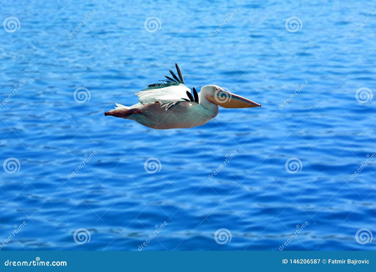 Ett mycket trevligt ögonblick i natur Pelikan i flykten över rent blått vatten Mycket trevligt blått vatten i bakgrunden