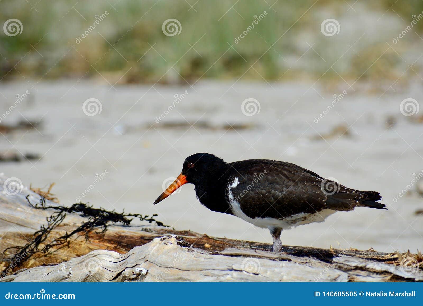 Ett närbildfoto av en variabel strandskataCharadriiformes i naturlig miljö Infödd fågel som finnas runt om mycket av nya Zealan