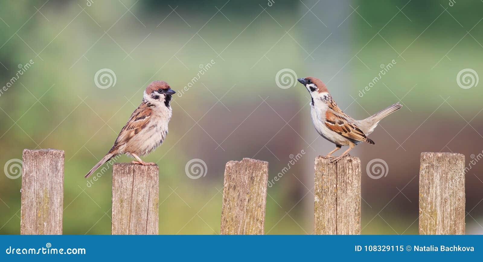 Ett par av små fåglar som sitter på ett gammalt trästaket bredvid