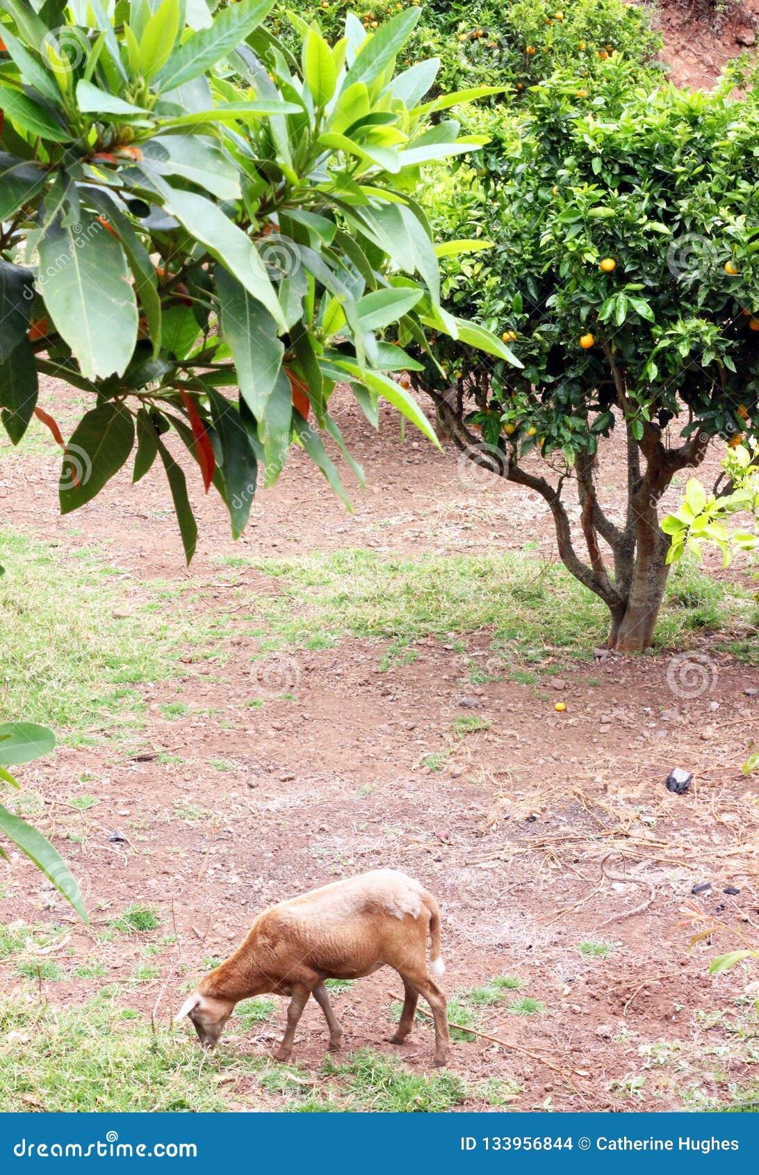 Ett pelibueyfår i trädgården