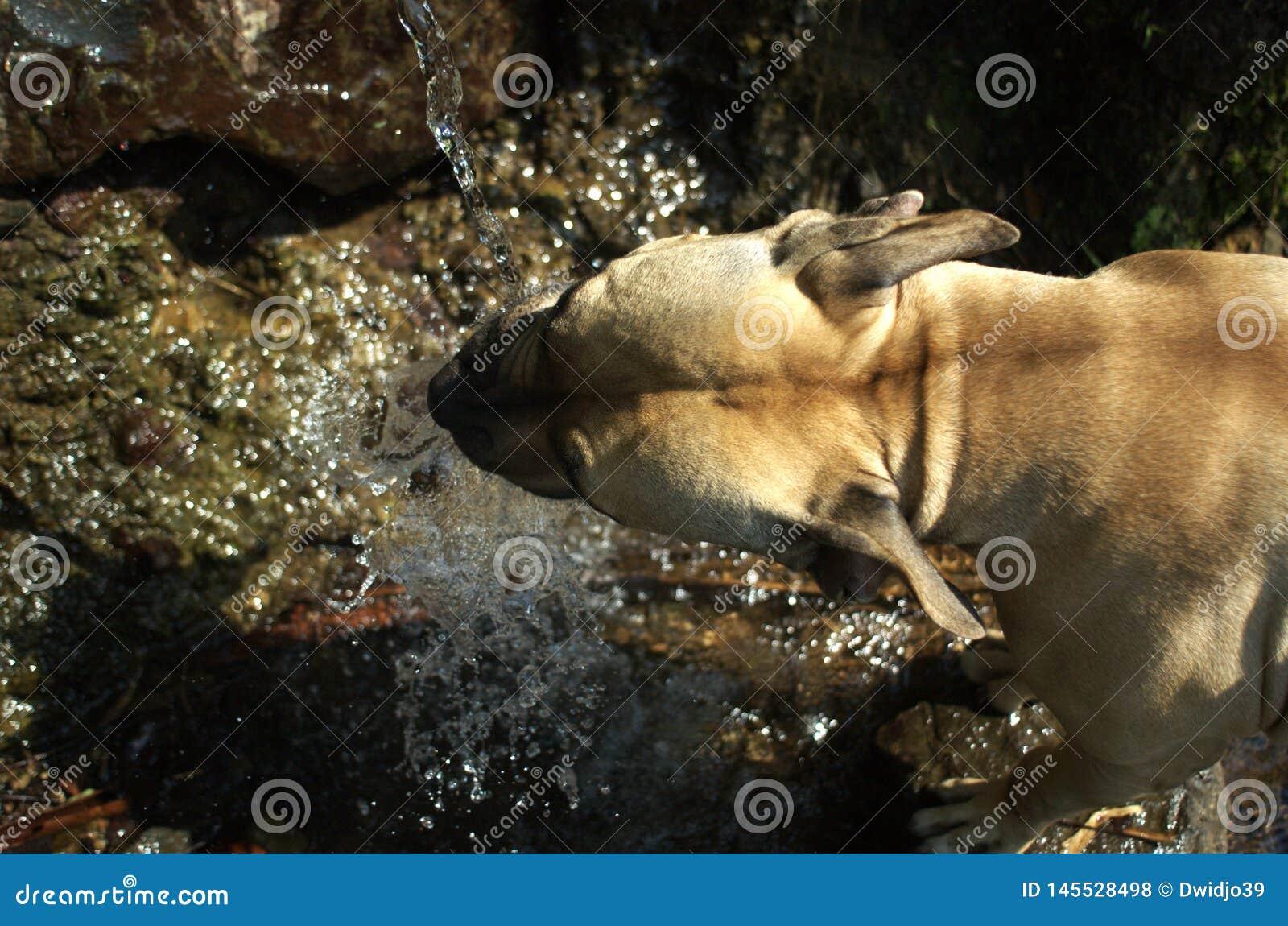 Ett pitbulldricksvatten fr?n den naturliga springbrunnen