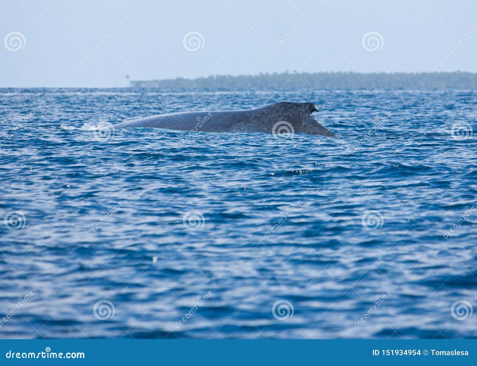 Ett puckelryggval i havet i Tonga