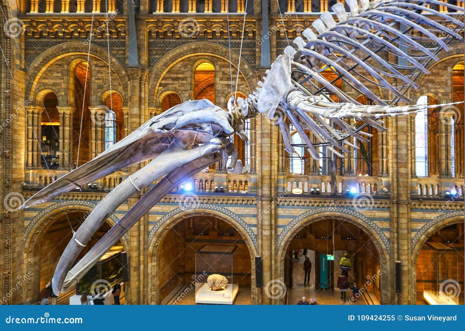 Ett skelett för blått val som hänger i det huvudsakliga gallerit av museet av naturhistoria i London UK - HDR som tonar 1-11-2018