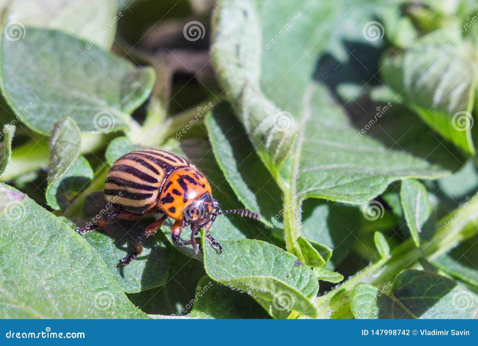 Ett slut upp bild av den randiga Colorado potatisskalbaggen som kryper p? potatisar och gr?na sidor och ?ter dem
