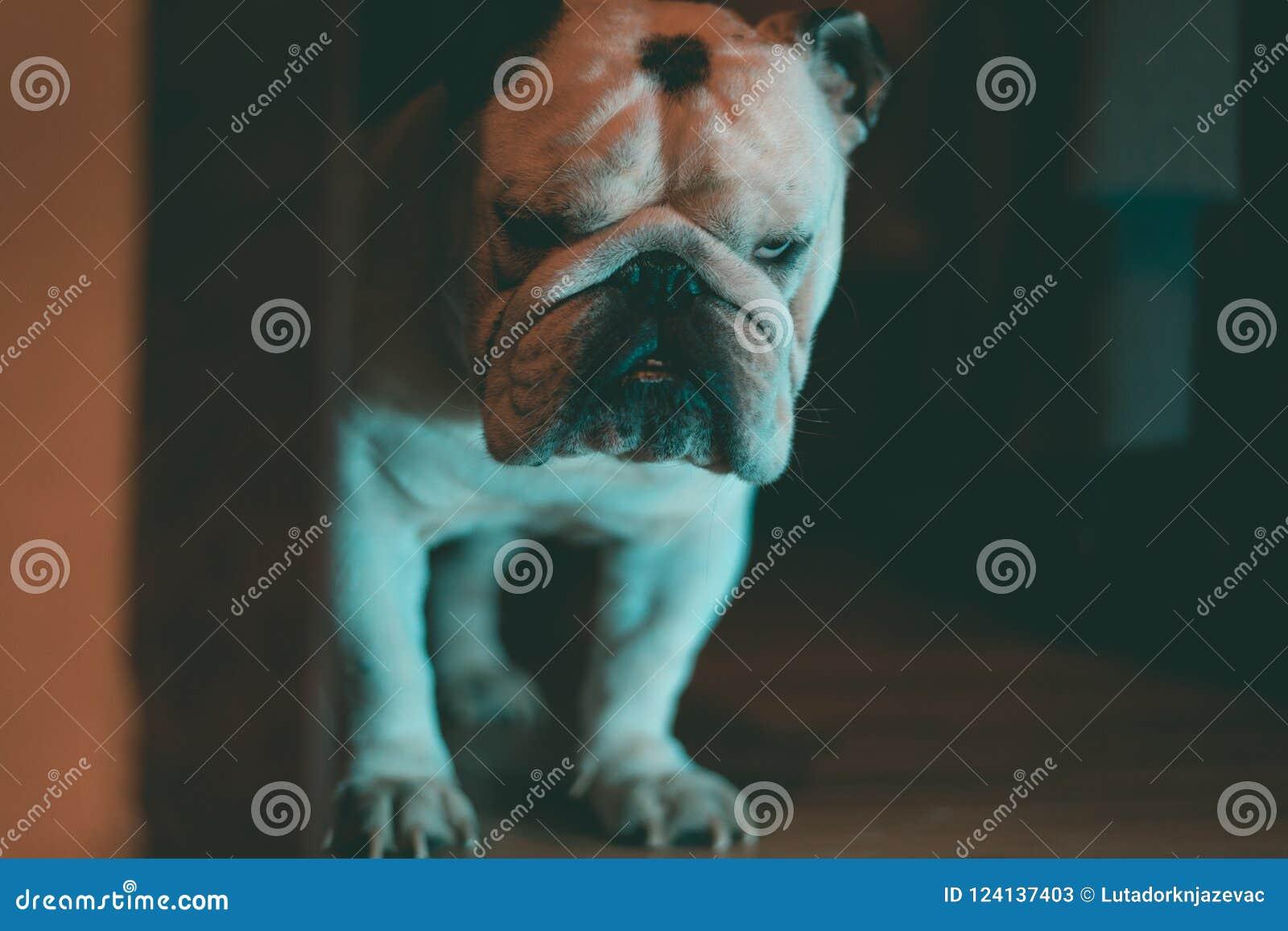 Ett slut upp på en engelsk bulldogg