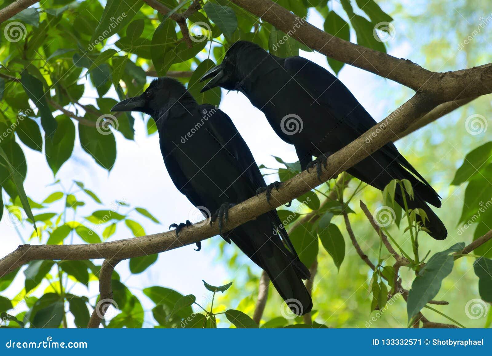 Ett svart fågelpar som argumenterar med de, högt upp i ett härligt grönt träd