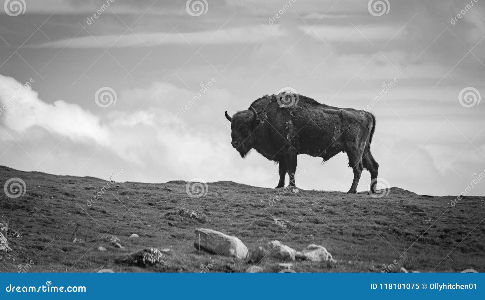 Ett svartvitt fotografi av ett europeiskt bisonanseende på en kant