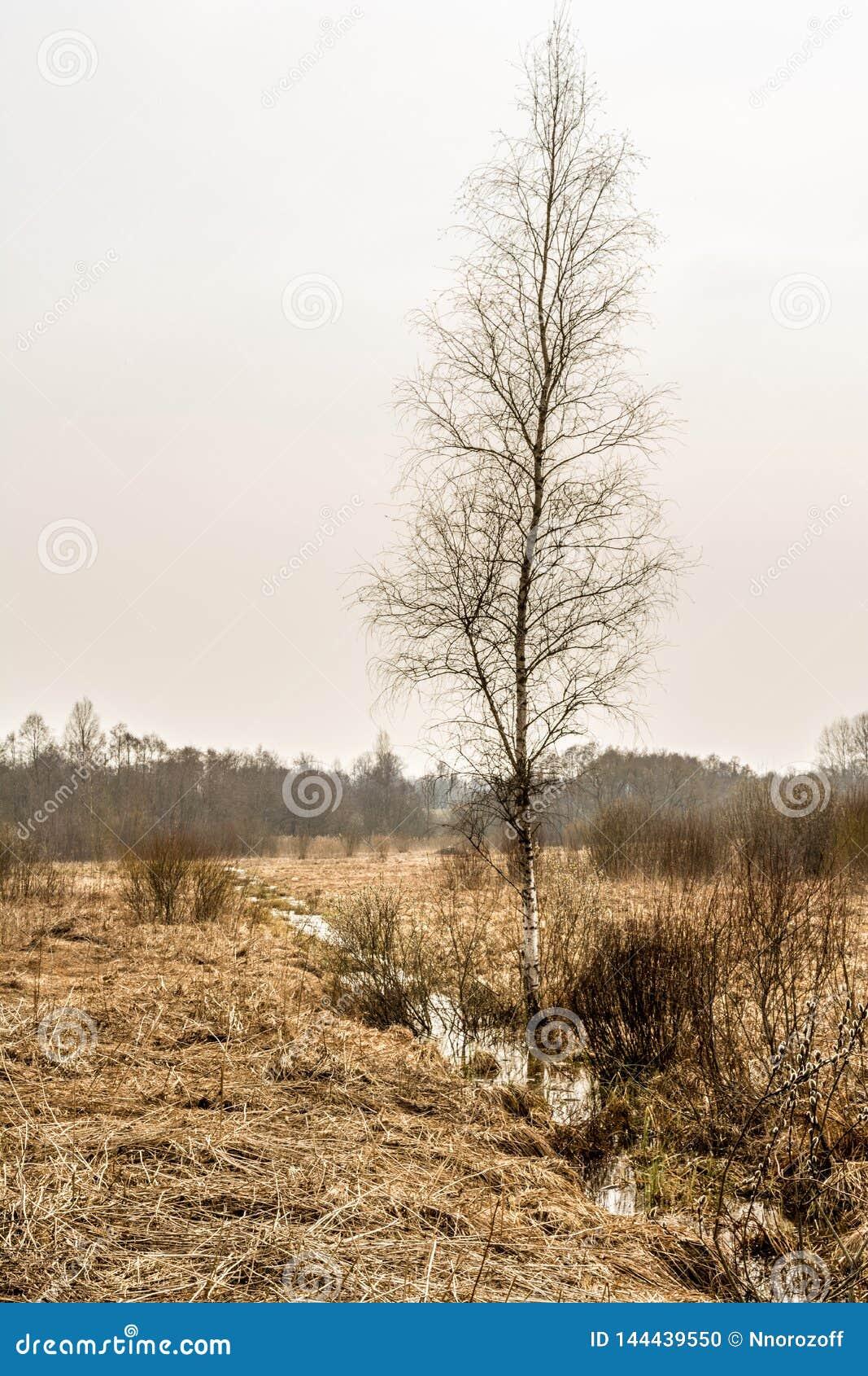 Ett träd utan sidor växer i ett fält, den lilla fältströmmen, molnig dag i tidig vår