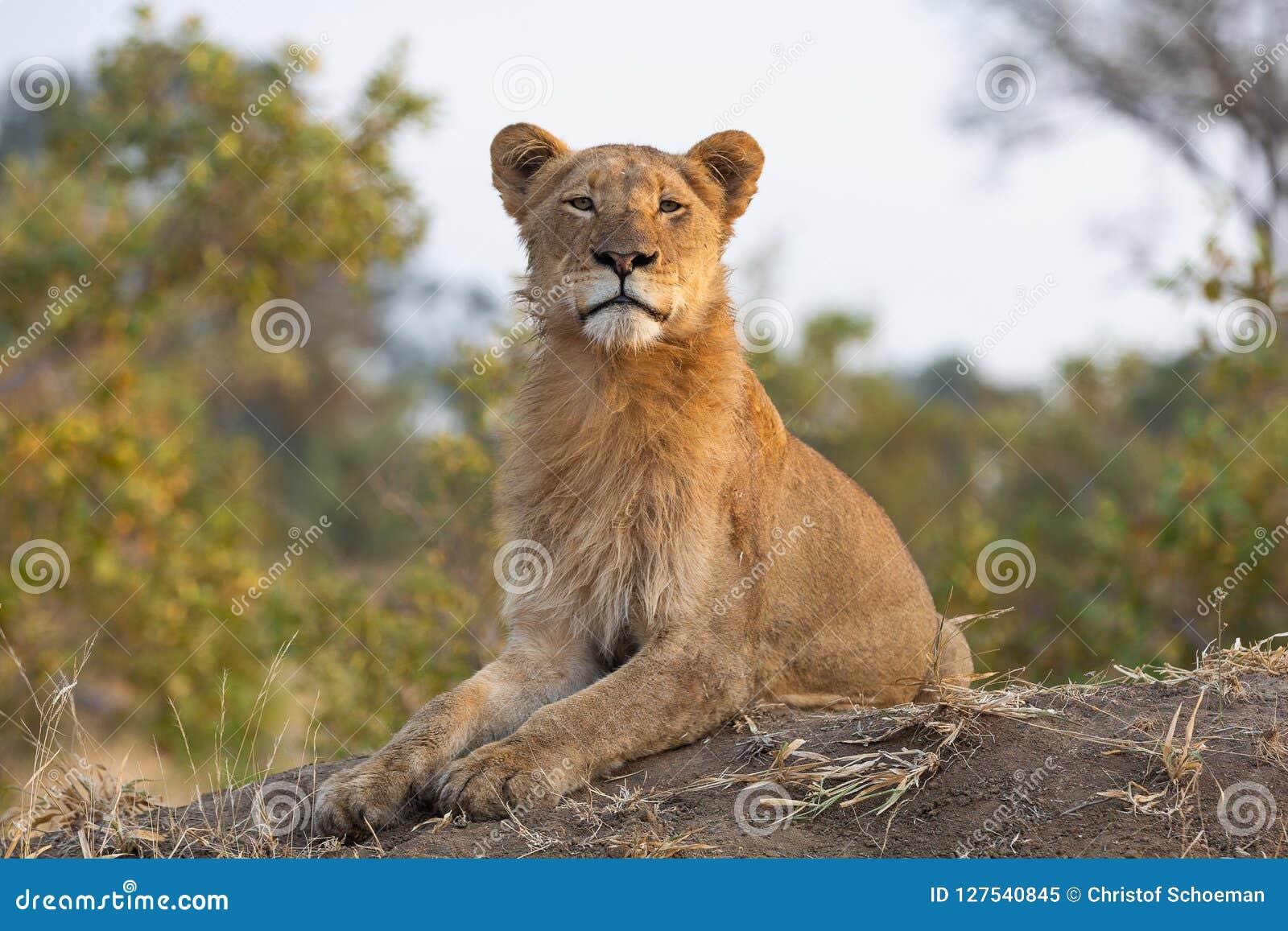 Ett ungt manligt lejon som ser kameran med en perfekt upprätt ställing