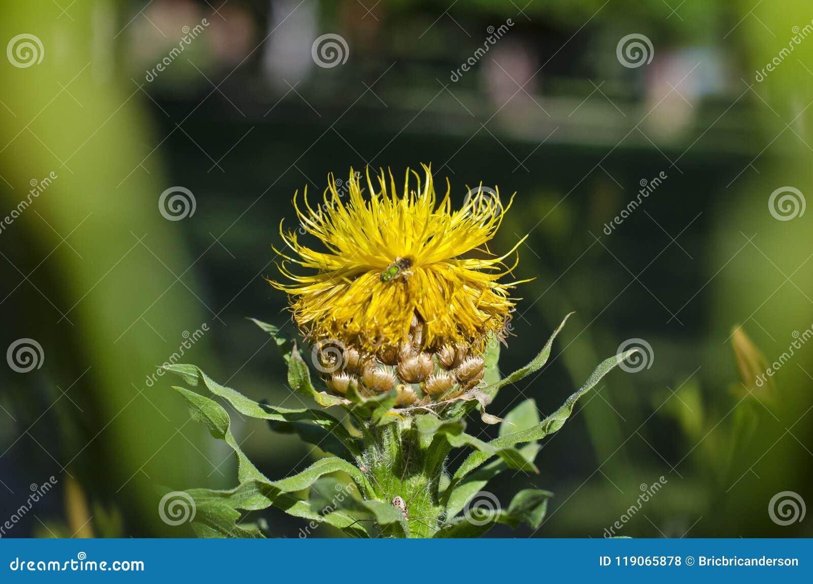 Ett upptaget bi som arbetar på en gul blomma