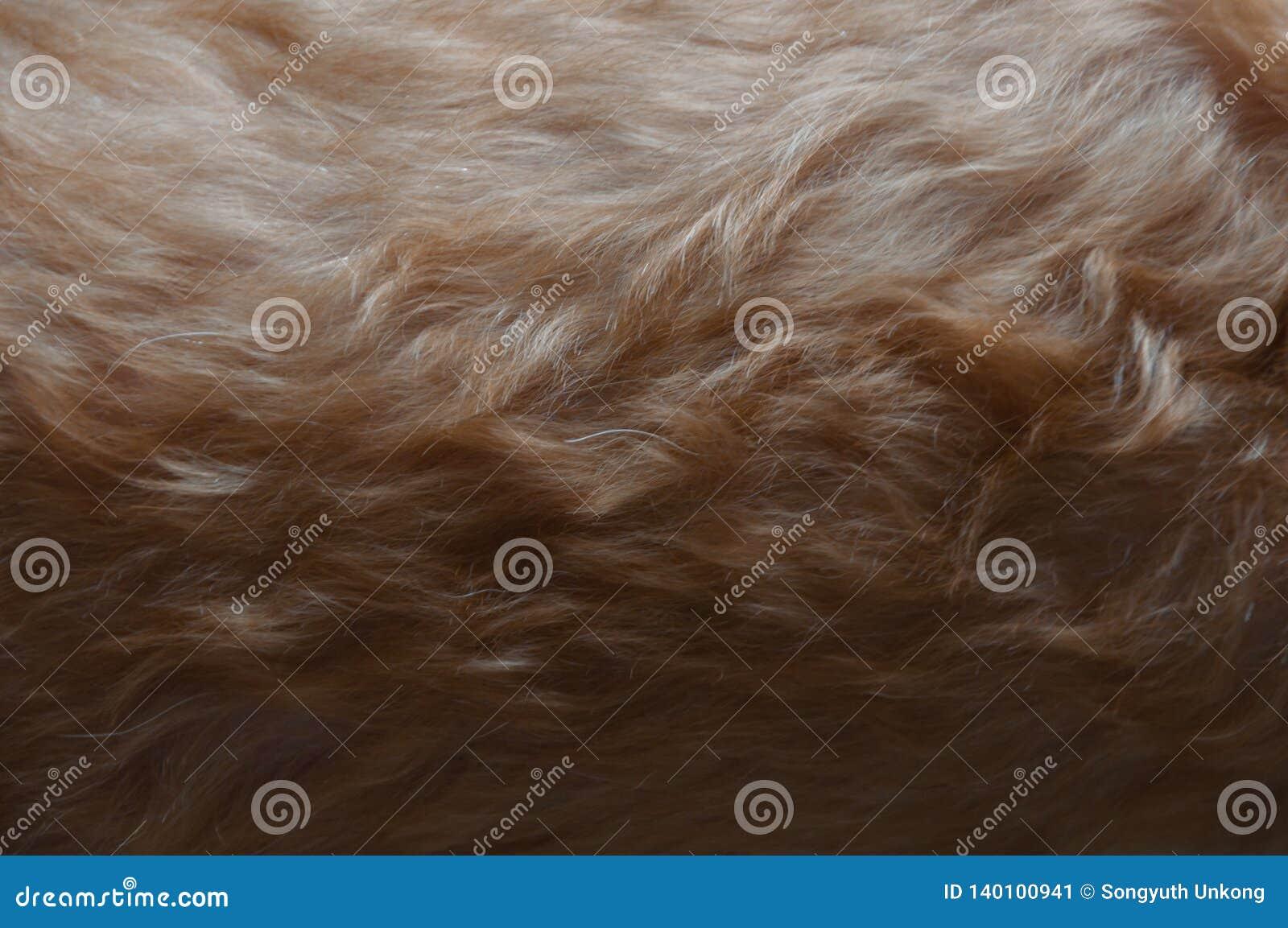 Etwas gelockter beige Farbpelz des Pudelhundes