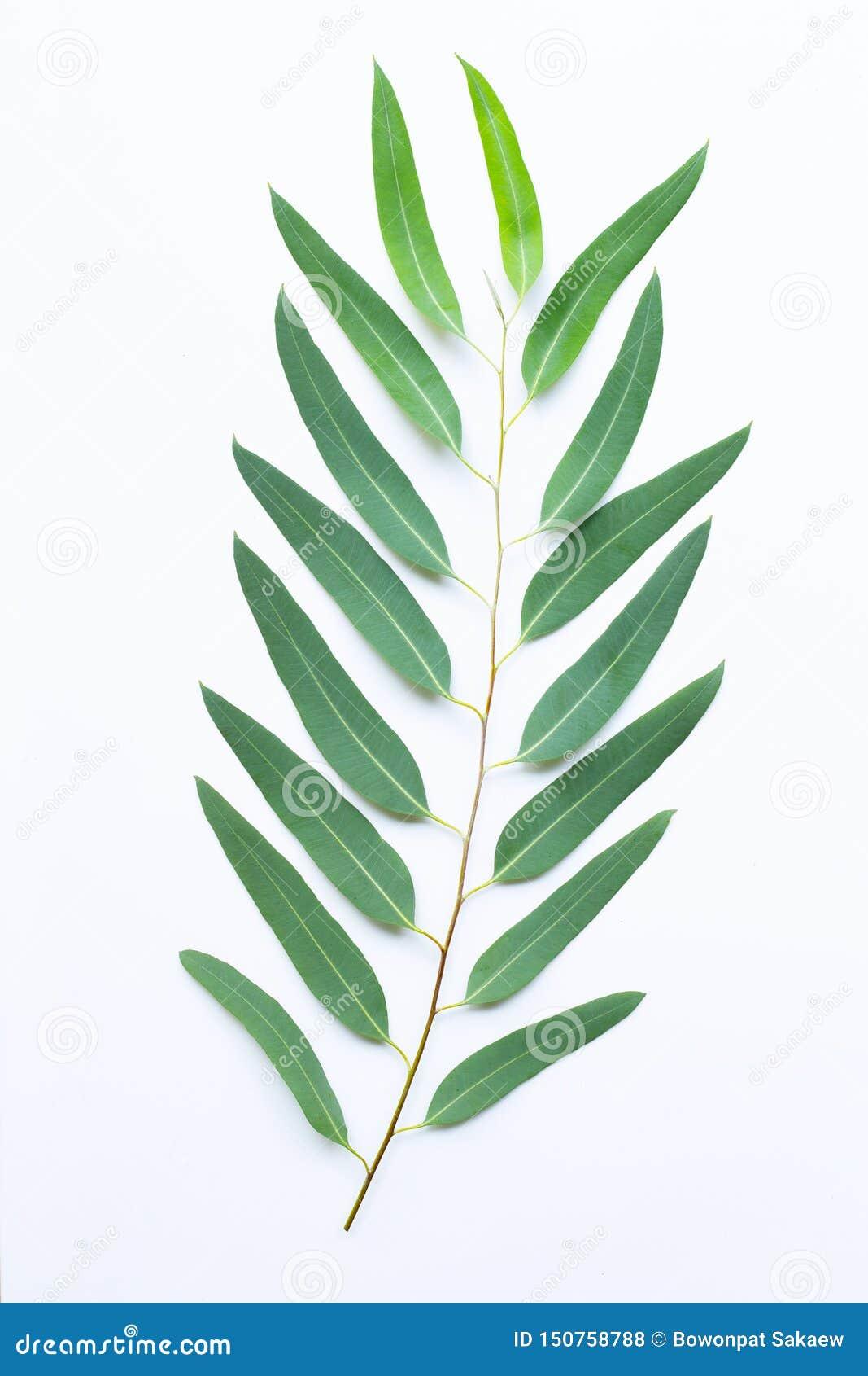 Eucalyptus branch on white