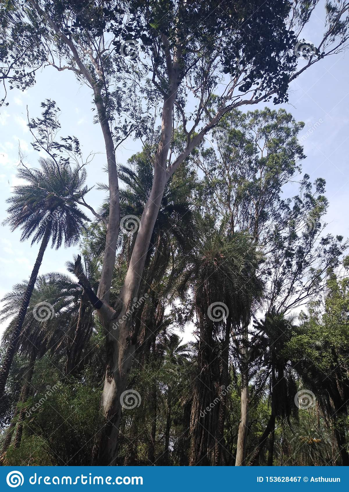 Eucalyptus and date trees with shrubs.