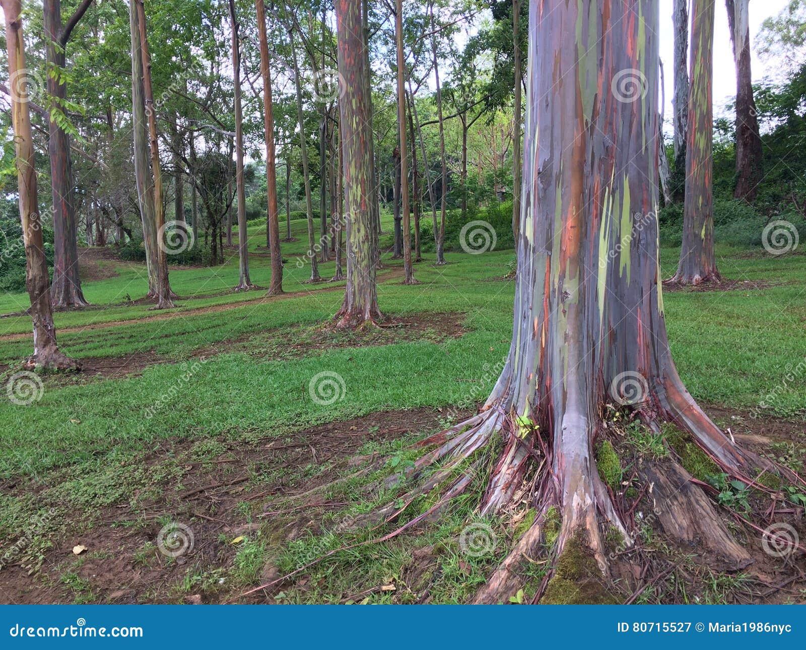 Eucalyptus Deglupta Rainbow Eucalyptus Tree Growing On Kauai Island ...