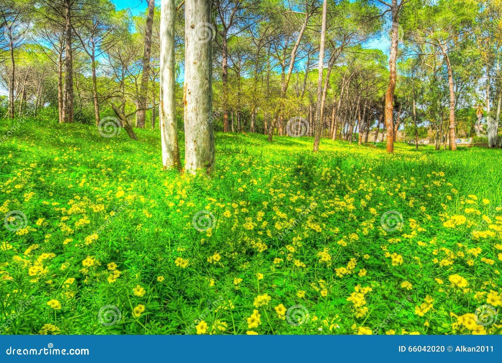 Eucalyptus e pini in un prato verde in alghero fotografia for Prato verde