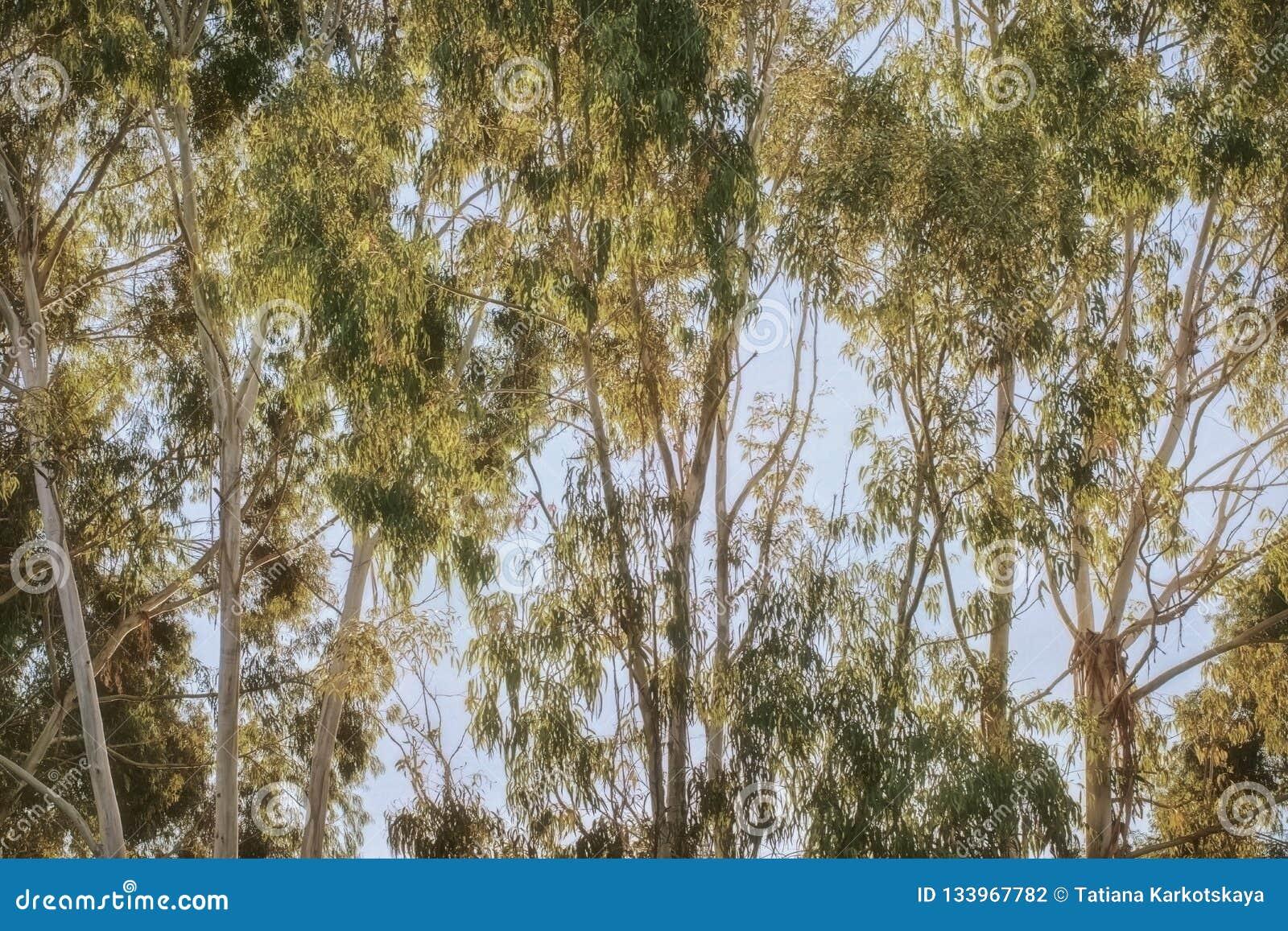 Eucalyptus groen bosje bij dageraad helder licht