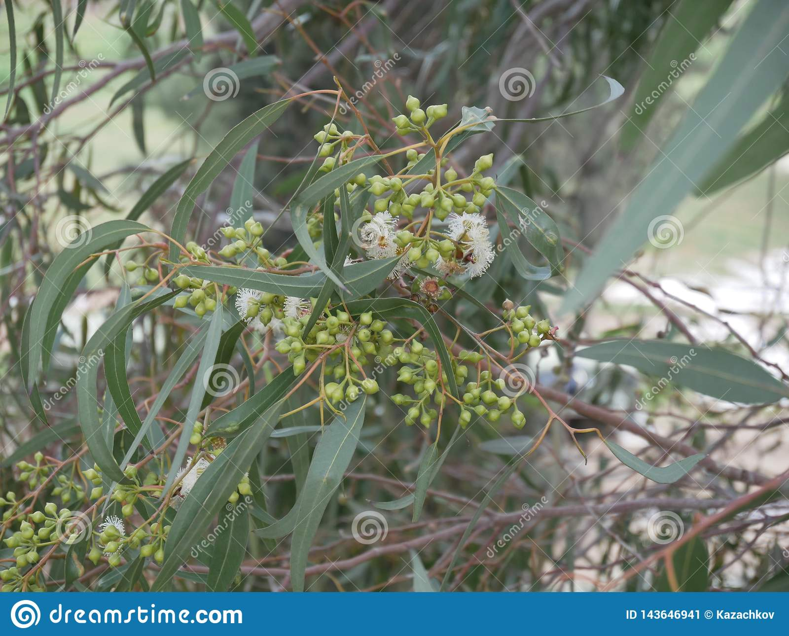 White eucalyptus flowers and new bud on a branch on a spring day. blue-leaved oil mallee. Eucalyptus polybractea.