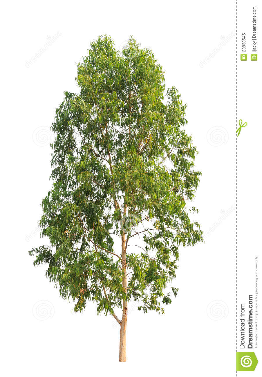 eucalyptus tree stock image image of gumtree growing 29838545. Black Bedroom Furniture Sets. Home Design Ideas