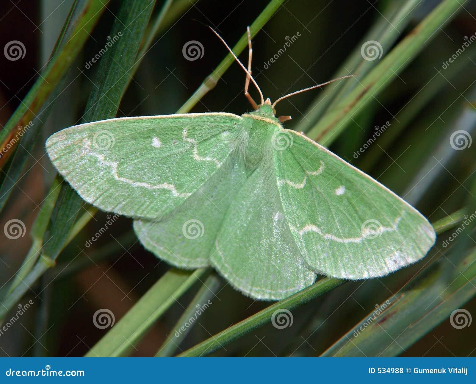 Download Euchloris smaragdaria 库存照片. 图片 包括有 细微, 柔和, 夏天, 沼地, 蝴蝶, 的treadled - 534988
