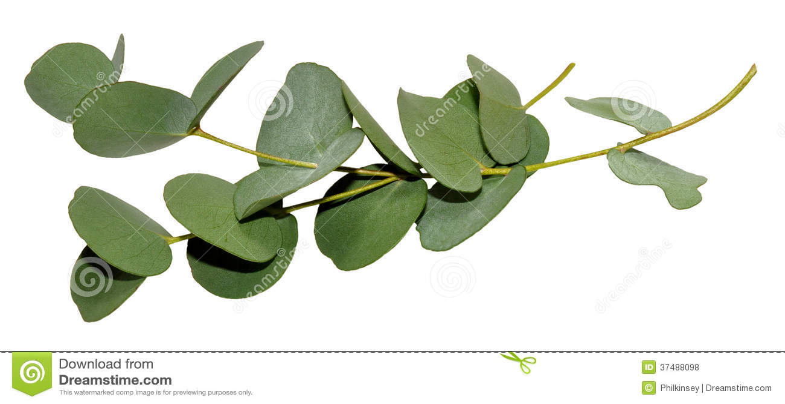 Eukaliptusowi liście