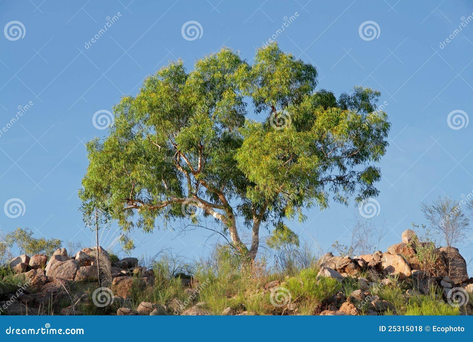 eukalyptusbaum stockfoto bild von baum frisch szenisch. Black Bedroom Furniture Sets. Home Design Ideas