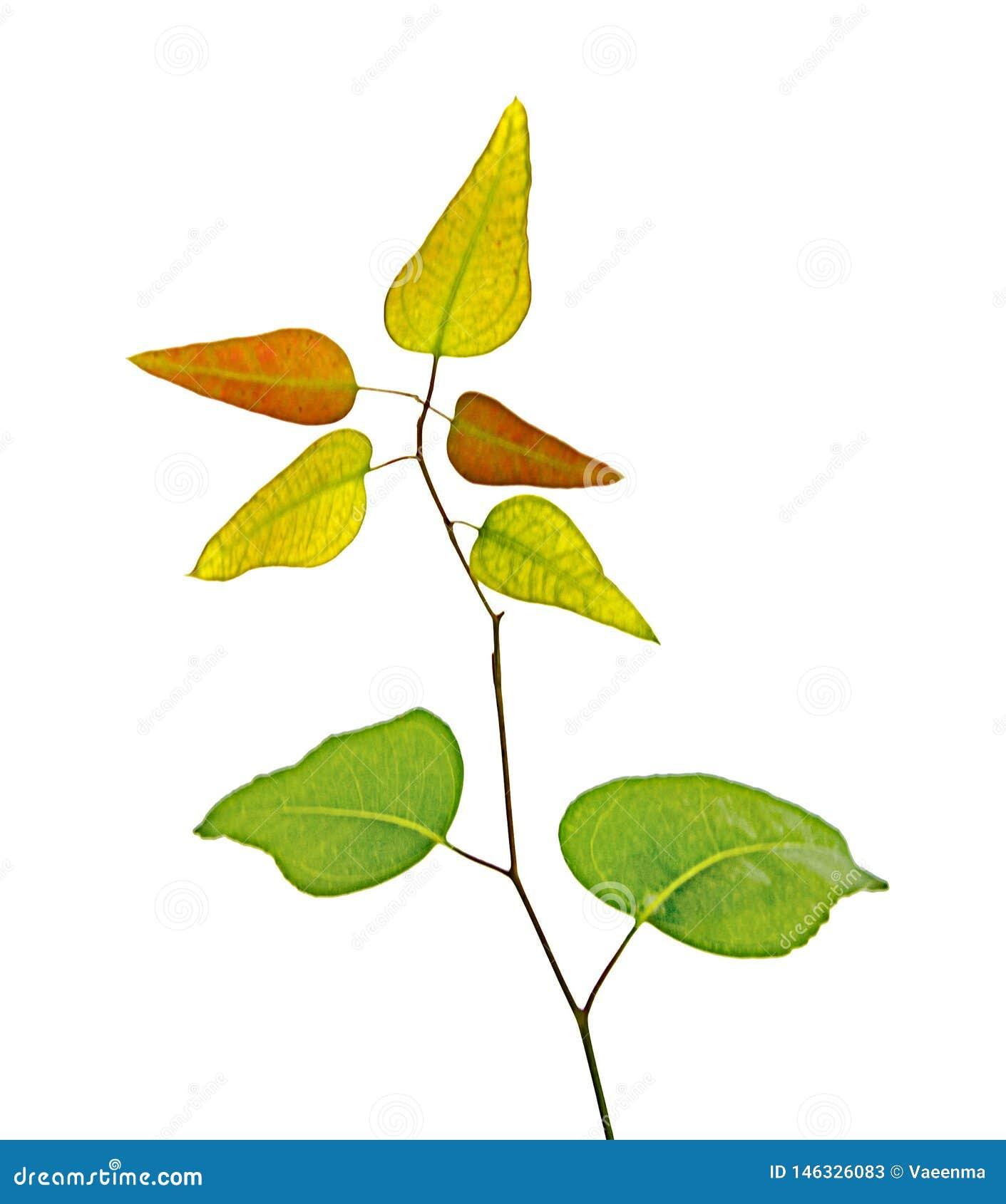 Eukalyptusniederlassung
