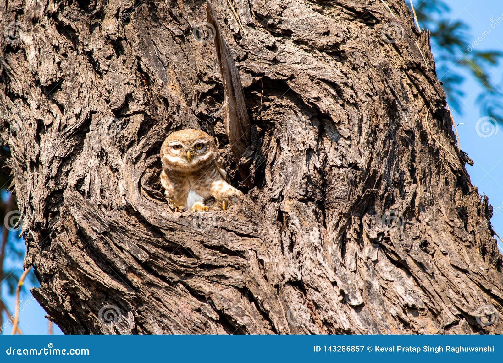 Eule im Nest, das für eine Kamerahaltung späht