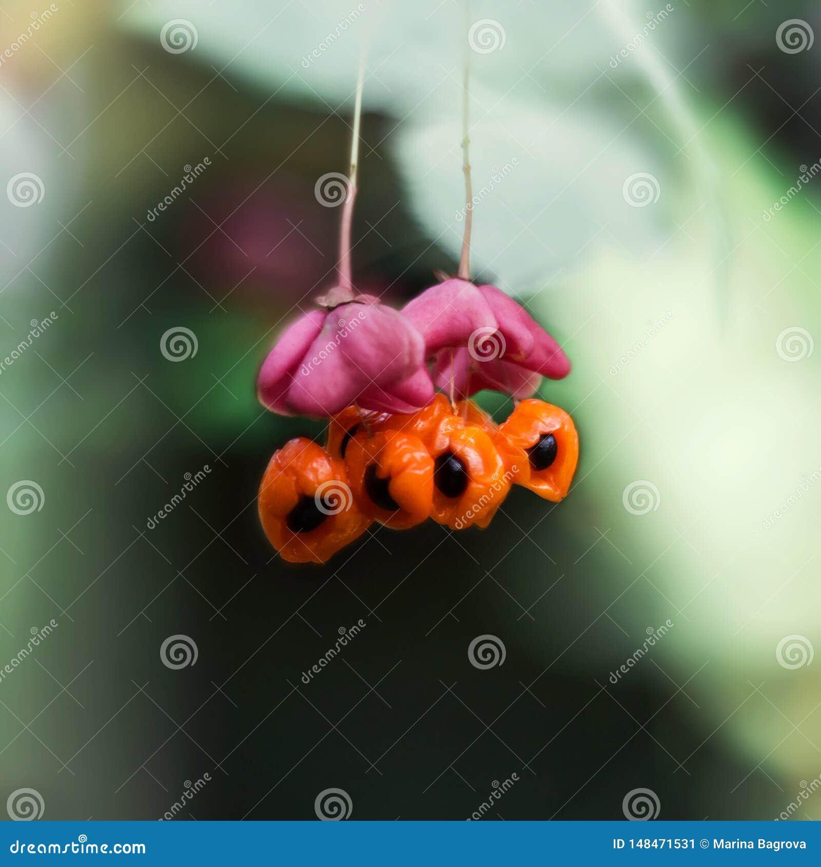 Euonymus, asboom, wahoo op groene achtergrond Heldere roze bloem met oranje fruit en zwart zaad Close-upmacro