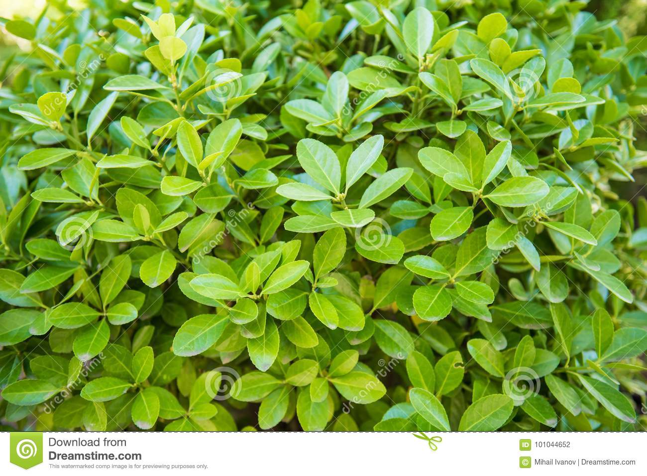 Euonymus japonicus, evergreen spindle, Japanese spindle