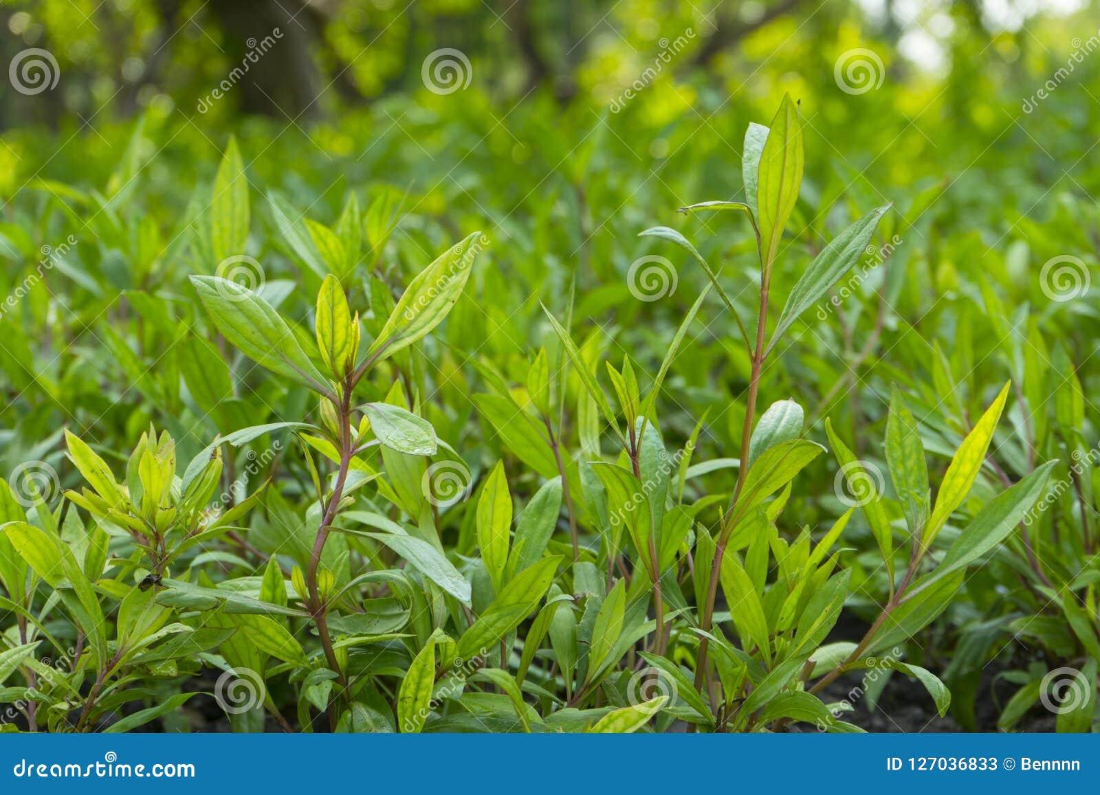 Eupatorium fortunei turcz. plant