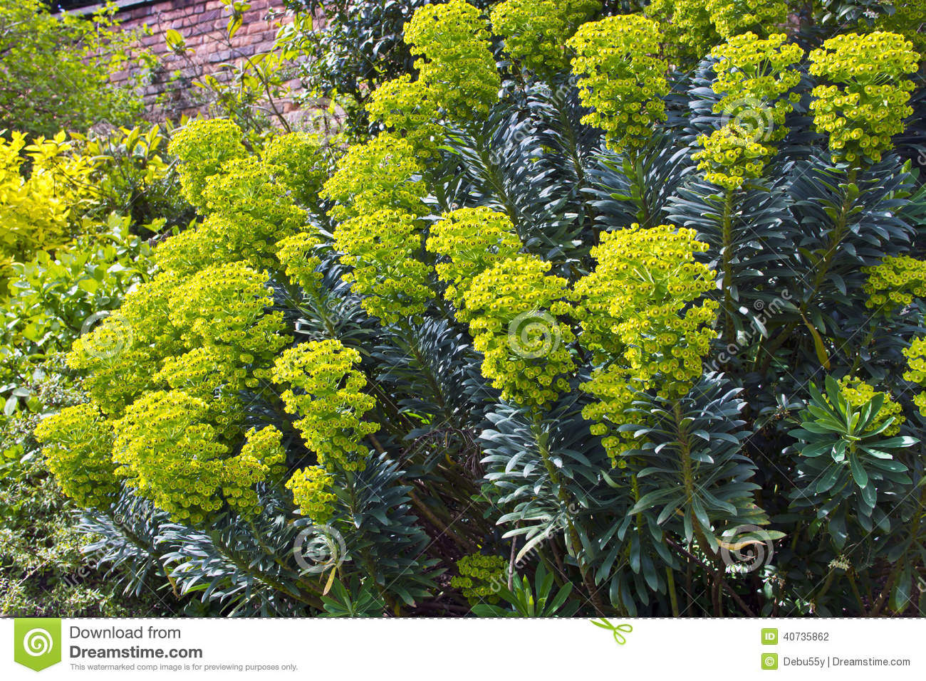 Euphorbia flowering plants in a garden stock photo for Flowering landscape plants
