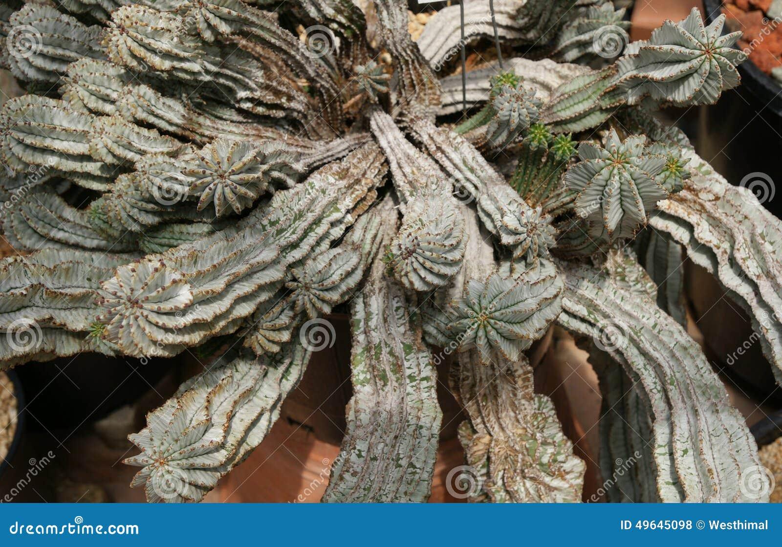 Euphorbia Horrida, Africa Milk Barrel Stock Photo - Image of