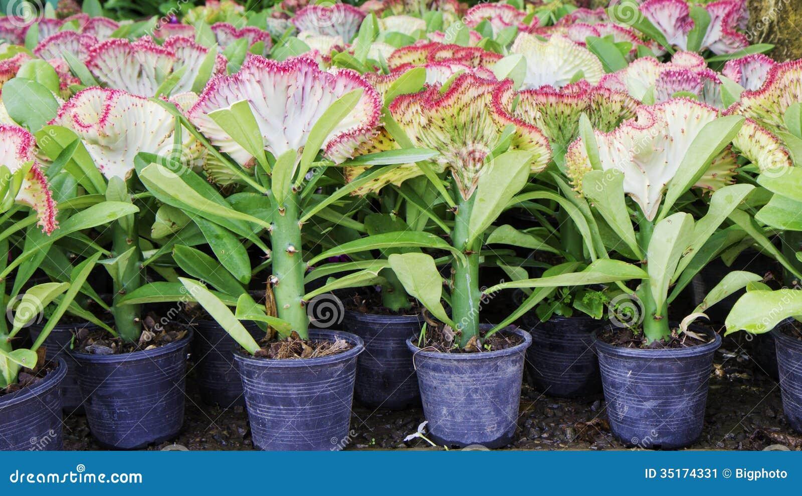 Euphorbia Lactea Cristata In A Colorful Flower Pot Stock