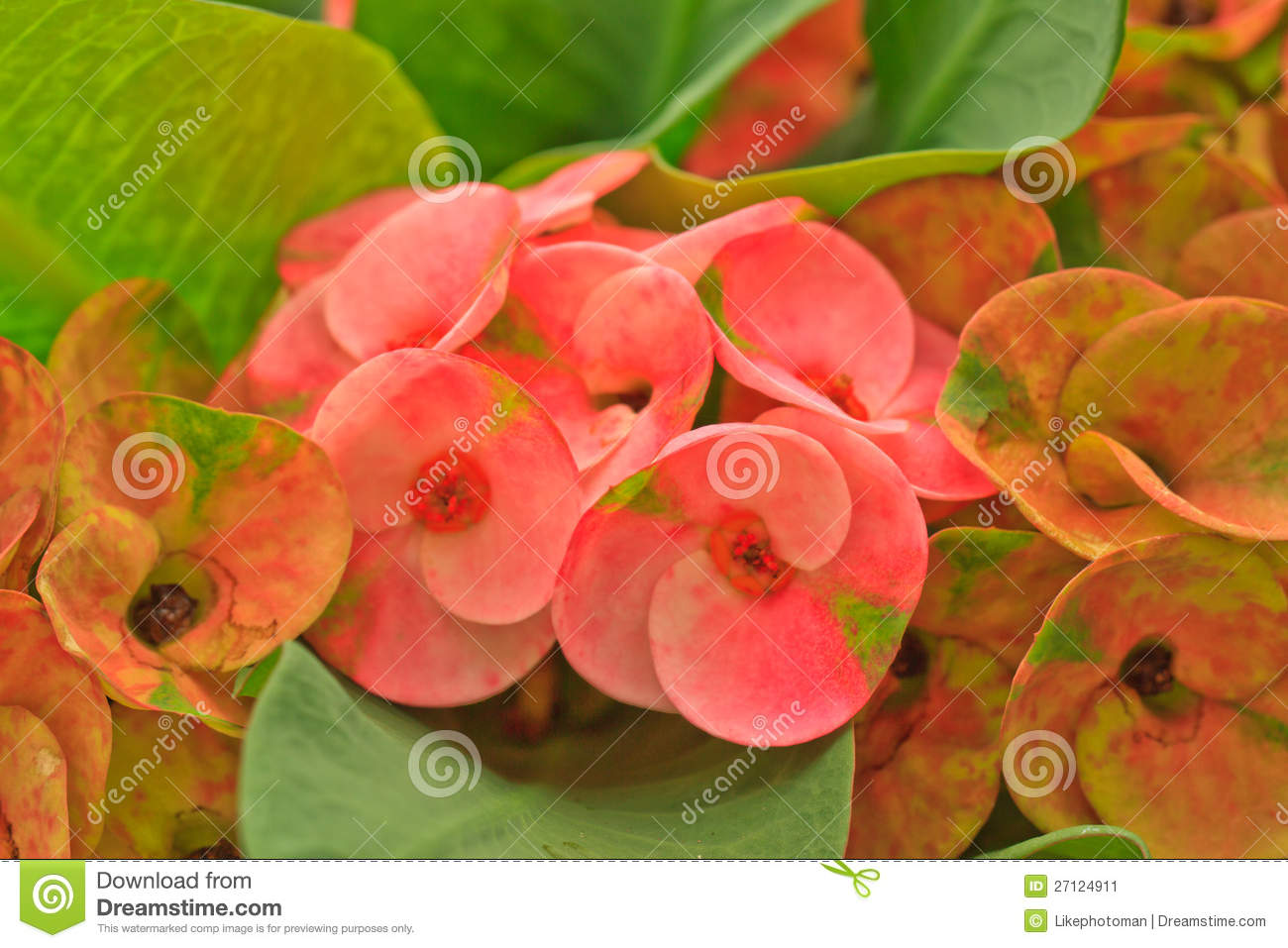 Euphorbia Flowers, flowers Photo | Free Download