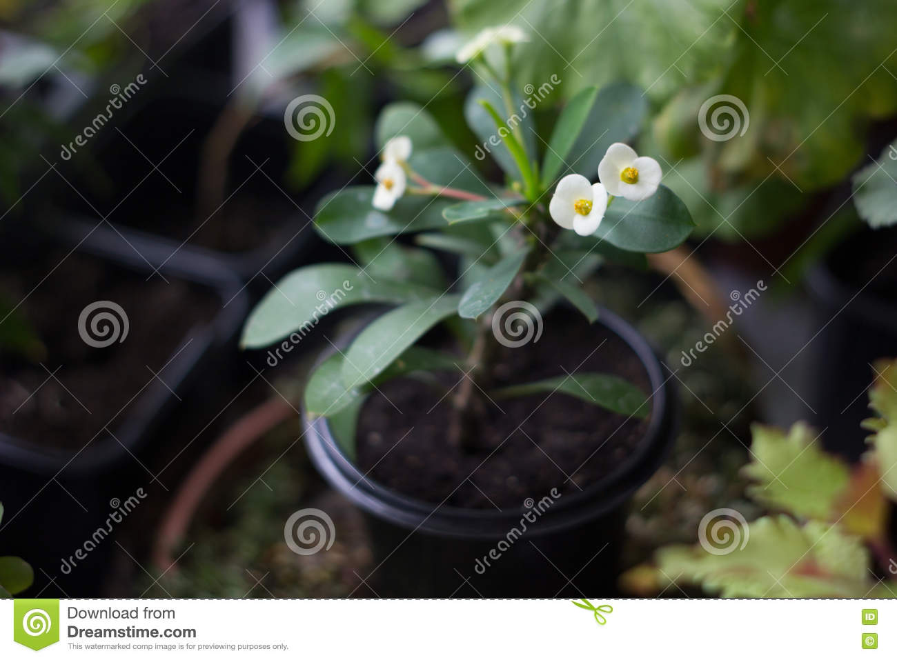 Euphorbia Milii Home Plant With White Flowers Stock Image Image