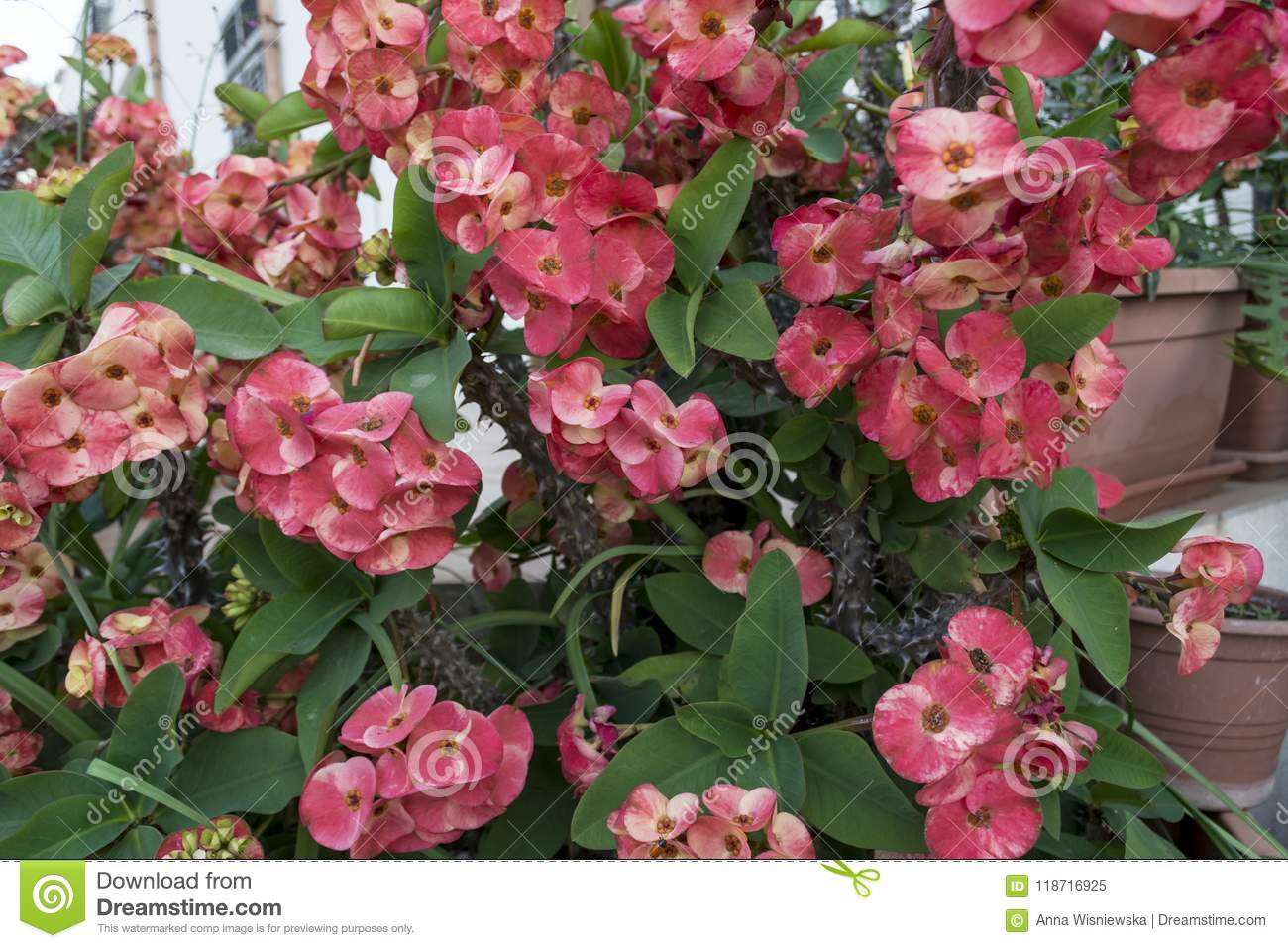 Euphorbia multi crown of thorns red flowers stock image image of euphorbia multi crown of thorns red flowers bush mightylinksfo