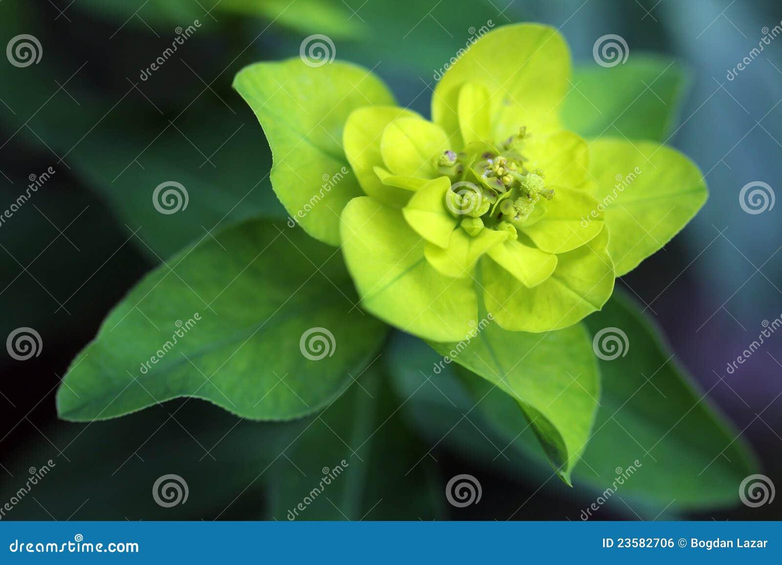 Download Euphorbia Palustris - Marsh Spurge Plant Stock Photo - Image of detail, decoration: 23582706