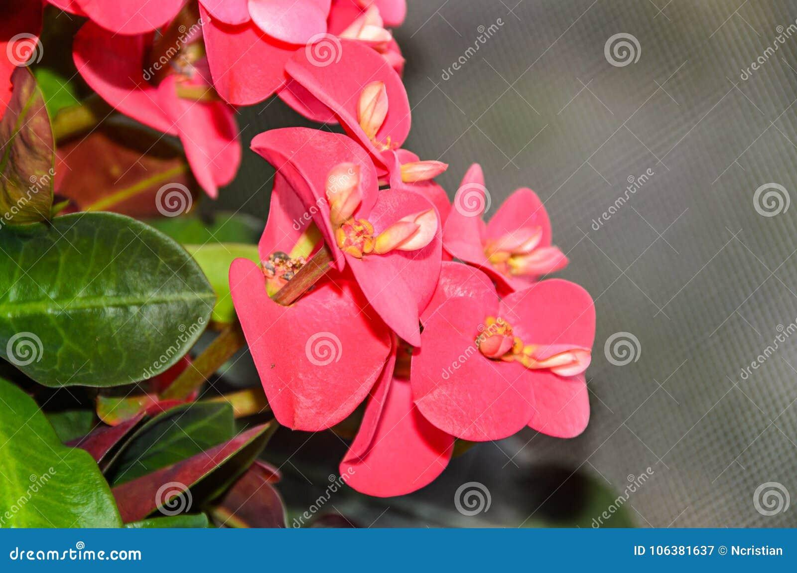 Euphorbia pink red flowers crown of thorns christ plant coronita download euphorbia pink red flowers crown of thorns christ plant coronita lui iisus stock izmirmasajfo