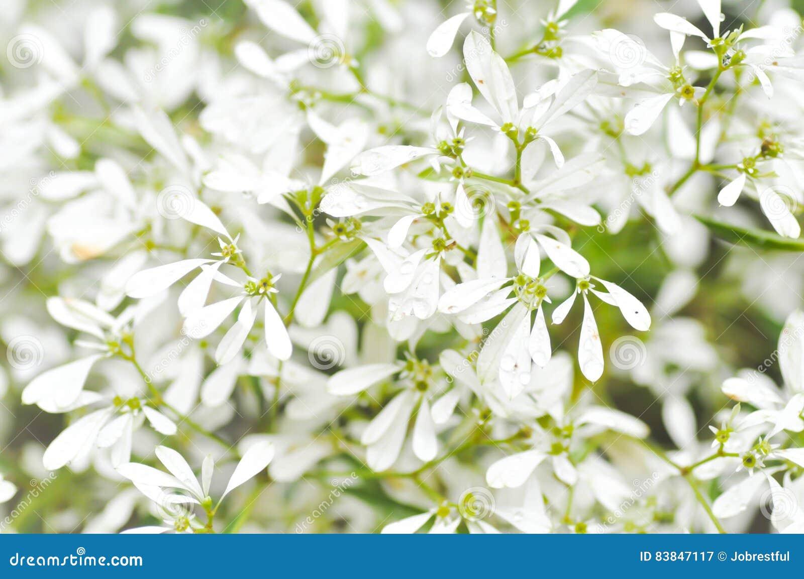 Euphorbiaceae Euphorbia Leucocephalalotsy Or White Christmas Stock