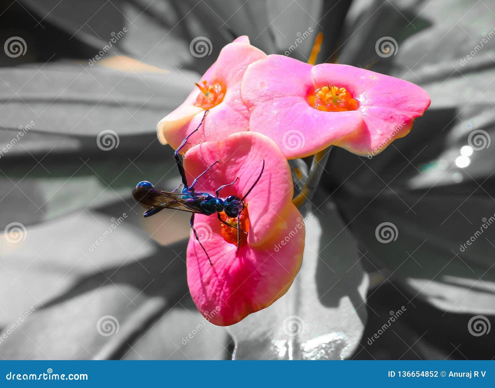 Euphorbiamiliiblomma med det svartvita spindelgetingkrypet
