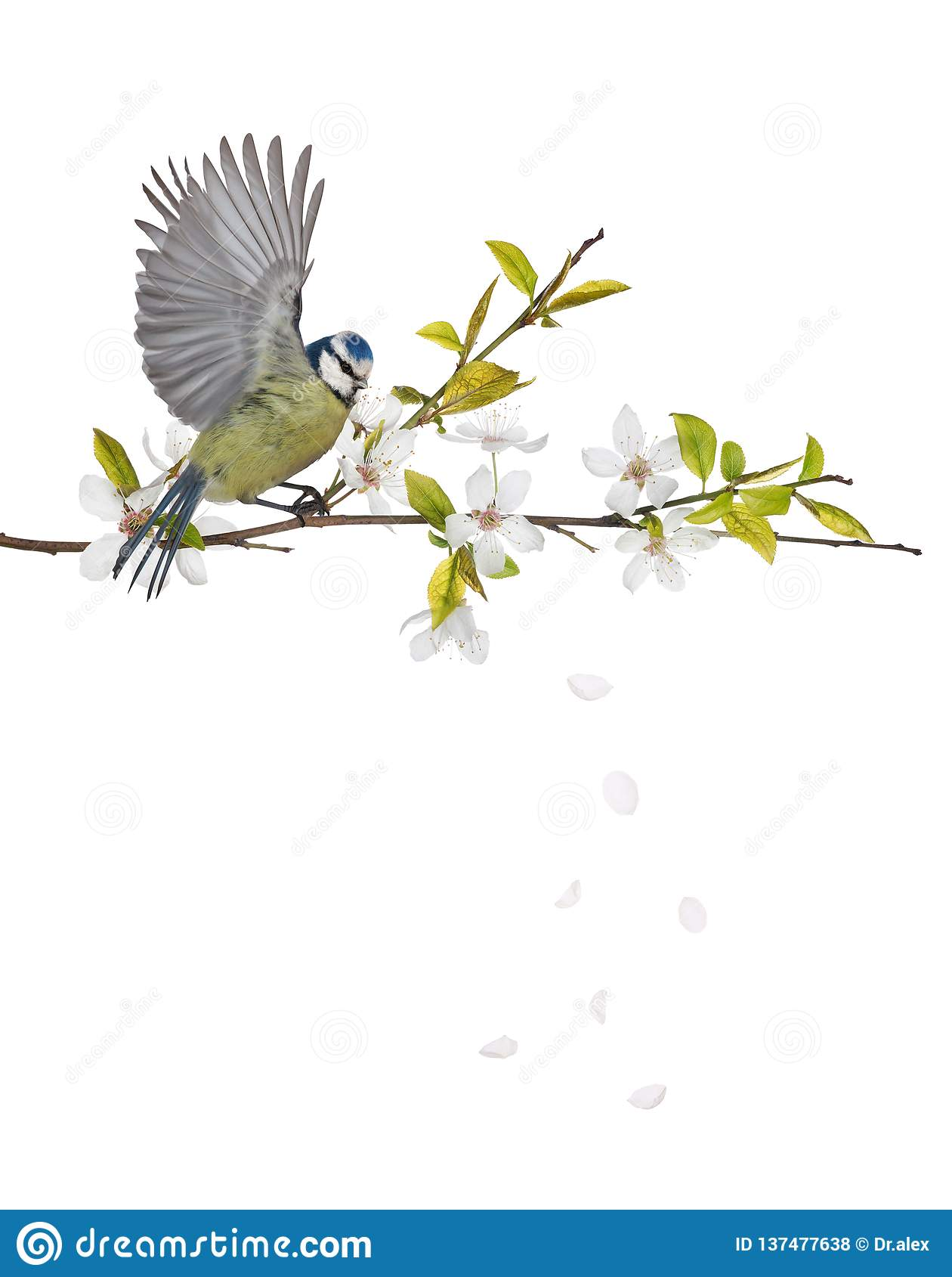 Eurasian blue tit on cherry tree blossoming branch