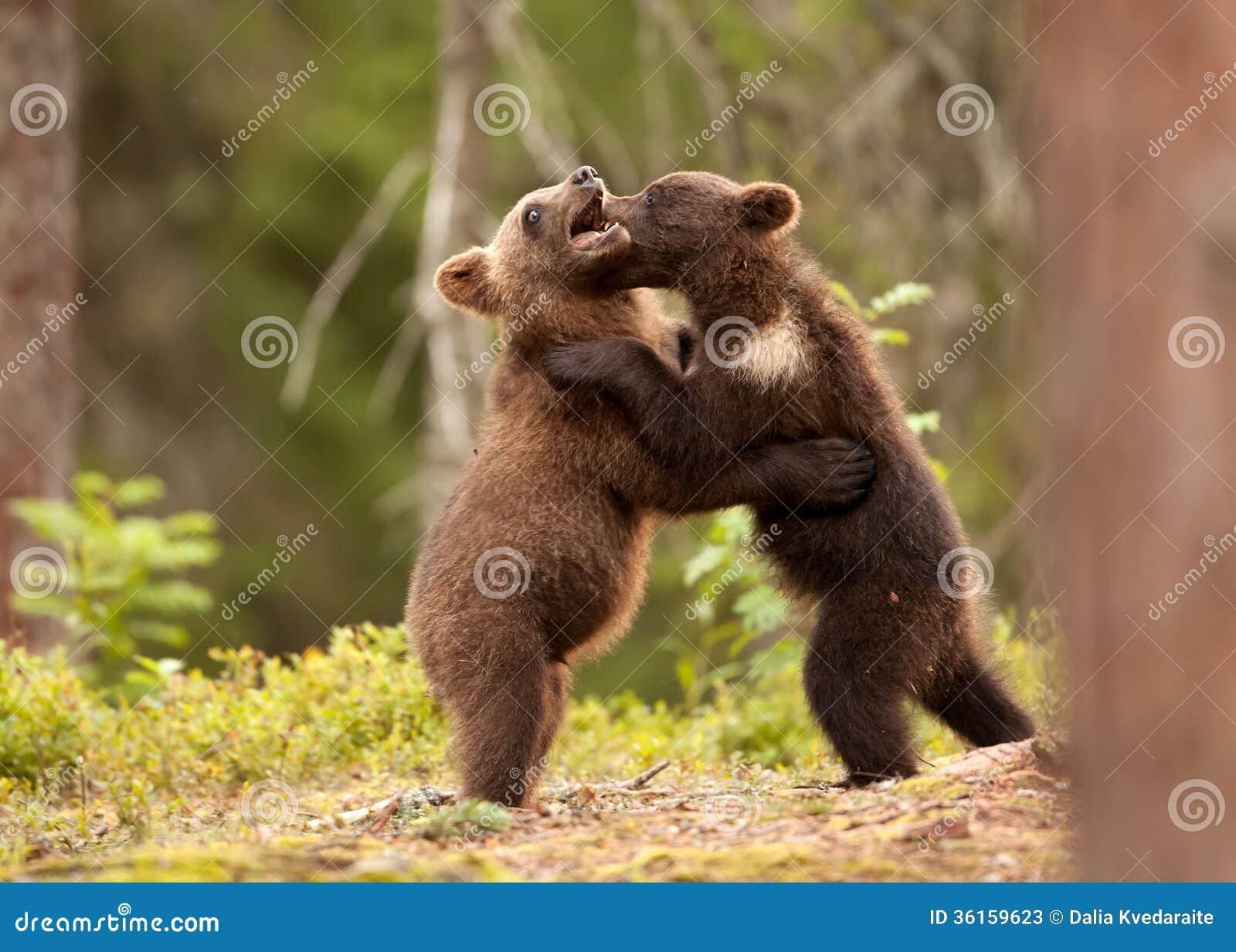 eurasian brown bear ursos arctos cubs stock image image 36159623. Black Bedroom Furniture Sets. Home Design Ideas