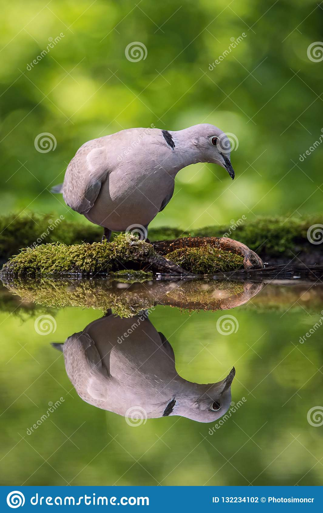 The Eurasian Collared Dove or Streptopelia decaocto is sitting at the waterhole