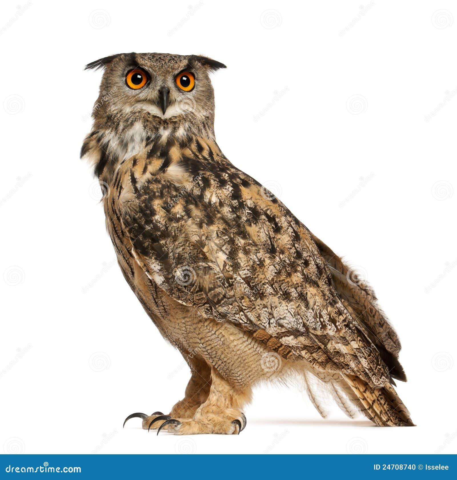 Eurasian Eagle Owl Bubo Bubo Stock Photo Image 24708740