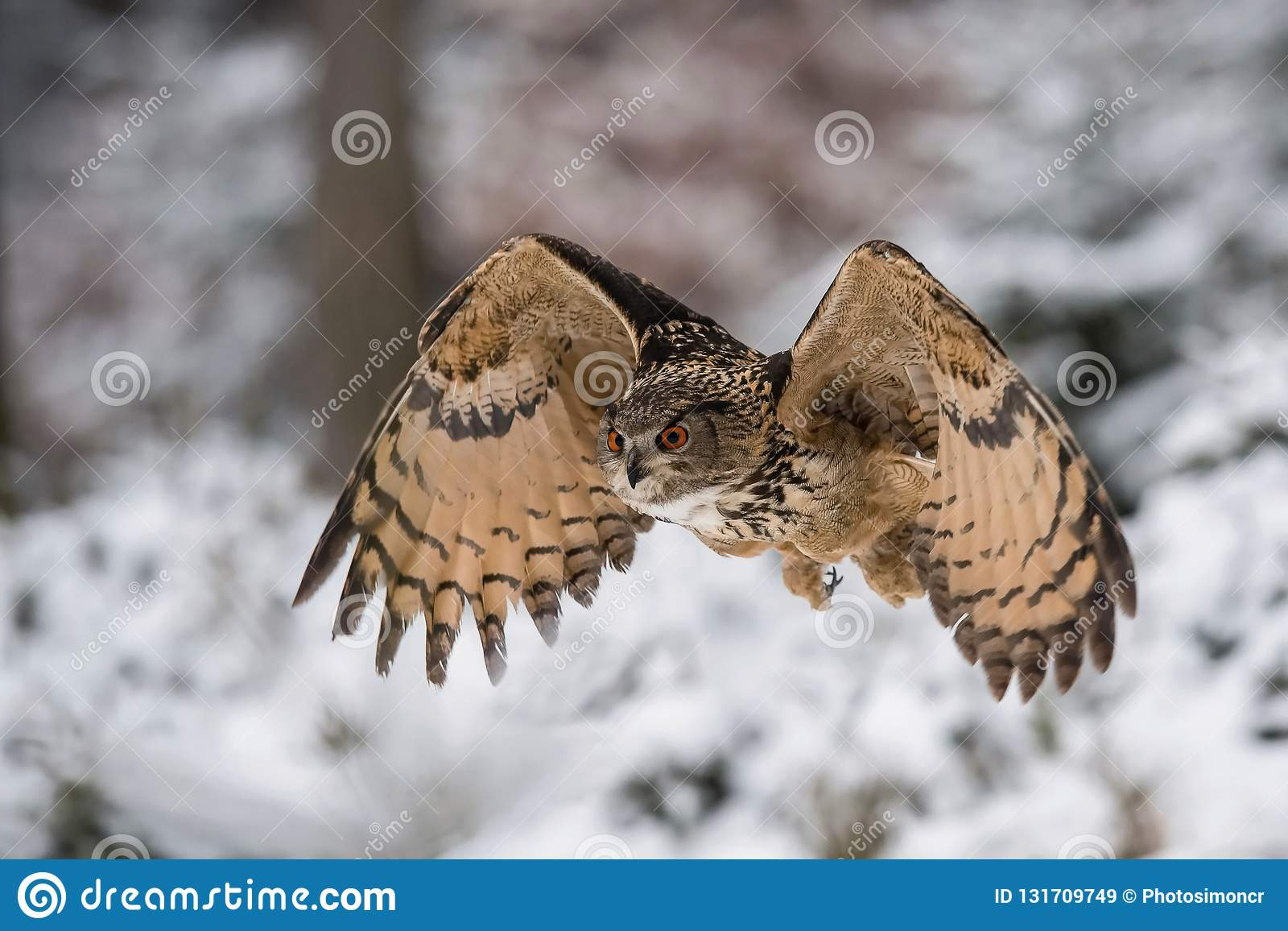The Eurasian Eagle-Owl, Bubo bubo
